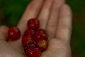 We did find a few ripe cherries...