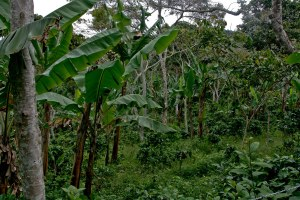 Organic coffee farmers rely on biodiversity to control pests like broca by maintaining an ecosystem with natural predators.