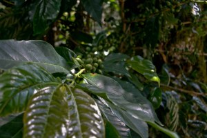 Several varieties of coffee are grown on the farm.  I believe this is Java Typica, and they also grow Caturra, Yellow Catuai and Pacamara.