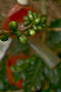 """Green cherries with a """"Broca trap"""".  Broca is a borer beatle that digs a hole into the bottom of coffee cherries and proceeds to eat the insides while making the cherry a home for its offspring.  The Broca trap is a natural pool of Broca attracting liquid that can drown 5-6 a day."""