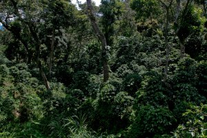 I think the farm is about 1,500 hectares of which 30% is a natural wildlife preservation.  As demonstrated here, the coffee is grown under multiple layers of shade canopy.
